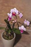 Una orquídea poco rosada y belleza Fotografía de archivo libre de regalías