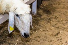 Una oveja Foto de archivo libre de regalías