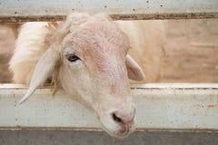 Una oveja blanca que se escabulle el suyo dirige hacia fuera de hueco de la cerca Fotos de archivo libres de regalías