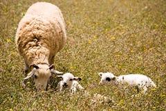 Una oveja con dos pequeños corderos lindos en prado foto de archivo