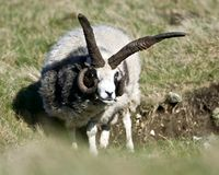 Una oveja con los cuernos impares Imagen de archivo