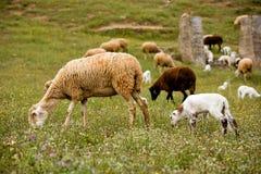 Una oveja con los pequeños corderos lindos en prado Fotos de archivo