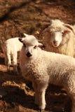 Una oveja con un cordero fotografía de archivo