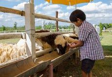 Una oveja de alimentación del muchacho Imagen de archivo
