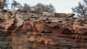 Una oveja de cuernos grande de las ovejas del desierto hace su manera abajo de la cara de un acantilado de la piedra arenisca roj almacen de metraje de vídeo