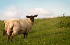 Una oveja de los pares que pasta en un pasto foto de archivo libre de regalías