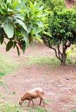 Una oveja del pelibuey en el jardín imagenes de archivo