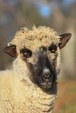 Una oveja en la madrugada Imagenes de archivo