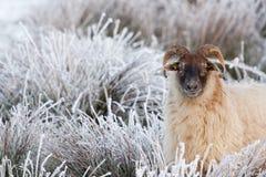 Una oveja en un campo blanco Fotos de archivo