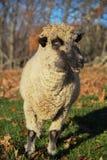Una oveja en un campo en la madrugada Foto de archivo