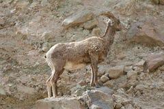 Una oveja grande majestuosa del cuerno que se coloca en rocas Imagenes de archivo