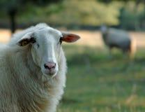 Una oveja hermosa foto de archivo libre de regalías