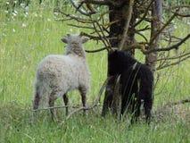 Una oveja linda imagen de archivo libre de regalías