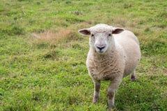 Una oveja madura que pasta en un campo Foto de archivo libre de regalías