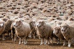 Una oveja oída hablar en Patagonia Fotografía de archivo libre de regalías