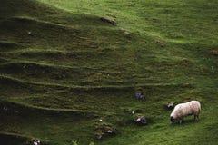 Una oveja pasta al lado de uno de los montones en la cañada de hadas, isla de S Imagenes de archivo