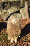Una oveja por una pared de piedra Fotos de archivo libres de regalías