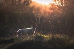 Una oveja que mira fijamente hacia fuera hacia una puesta del sol imágenes de archivo libres de regalías