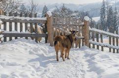 Una oveja que se coloca cerca de la cerca Imagen de archivo