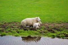 Una oveja y su niño Imagen de archivo libre de regalías