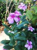 Una púrpura florece Fotos de archivo