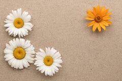 Una pagina di tre bianchi e delle margherite gialle una sulla sabbia Fotografie Stock