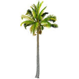 Una palma Fotografia Stock