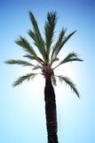 Una palma alta verde Fotografia Stock