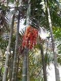 Una palma della coda di volpe con i frutti Fotografia Stock