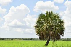 Una palma isolata Fotografia Stock