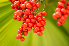 Una palma rossa, palma da datteri nana Fotografia Stock