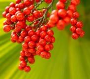 Una palma rossa, palma da datteri nana Fotografie Stock Libere da Diritti