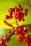 Una palma rossa, palma da datteri nana Fotografie Stock