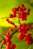 Una palma rossa, palma da datteri nana Immagini Stock