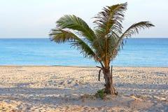Una palma sola in una spiaggia Fotografia Stock