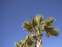 Una palma sotto un cielo blu Fotografia Stock Libera da Diritti