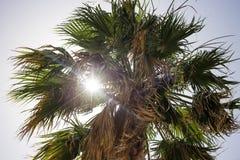 Una palma verde alta al Cipro Raggi di sole attraverso le foglie di palma, fondo del cielo blu, nell'ambito della vista Fotografia Stock