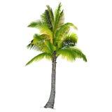 Una palmera Imagenes de archivo