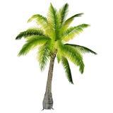 Una palmera Foto de archivo libre de regalías
