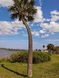 Una palmera curvada Fotos de archivo