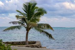 Una palmera solitaria se coloca al lado de la pared de mar en el ámbar gris Caye imagen de archivo