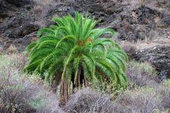 Una palmera verde fotos de archivo libres de regalías