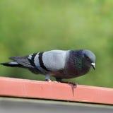 Una paloma. Fotografía de archivo