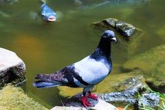 Una paloma al borde de la laguna fotos de archivo