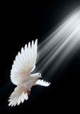 Una paloma blanca del vuelo libre aislada en un negro Imágenes de archivo libres de regalías