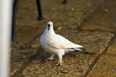 Una paloma blanca espera pacientemente la comida debajo de la tabla de una barra en Corfú foto de archivo