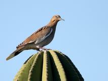 paloma Blanco-coa alas en México Imagen de archivo libre de regalías