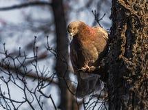 Una paloma de ojos brillantes del pelirrojo con el cuello rojo del arco iris se sienta en una rama de un árbol en el parque foto de archivo libre de regalías