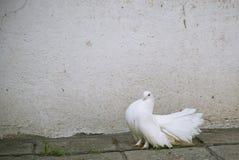Una paloma del blanco Foto de archivo