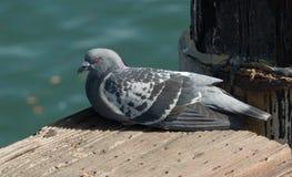 Una paloma del gris descansa sobre un embarcadero que pasa por alto el océano Imagenes de archivo